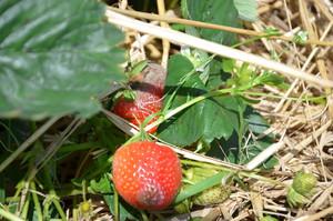 Szara pleśń dziesiątkuje plony truskawek