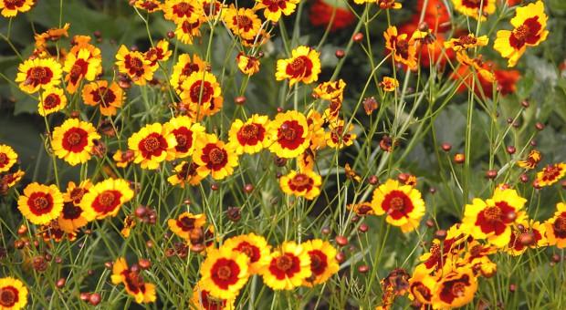 Kwiaty jednoroczne w towarzystwie mieczyków