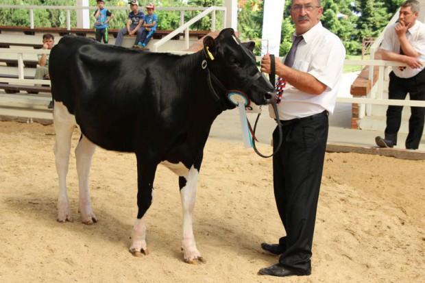 Najpiękniejsze krowy Wielkopolski