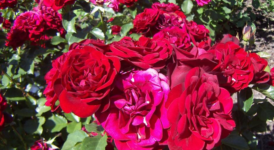 Pielęgnacja róż w czerwcu