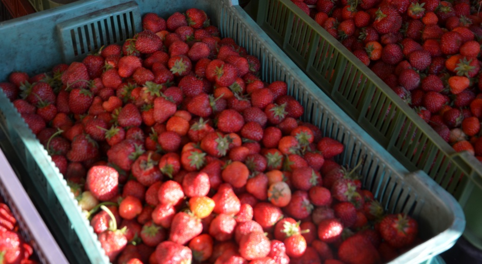 Zmarnowany sezon truskawkowy