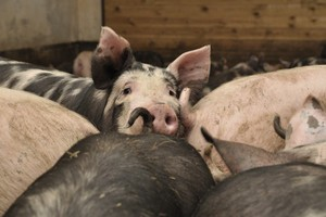 Zakłady mięsne wypowiadają umowy rolnikom z terenów dotkniętych ASF