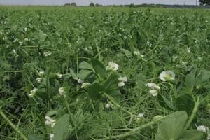 Związki antyodżywcze w nasionach roślin strączkowych