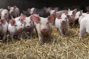 Ukraina zezwoliła na wwóz polskiej wieprzowiny