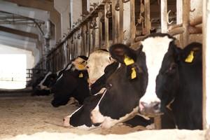 Słoma + wapno = wygodny materac dla krów
