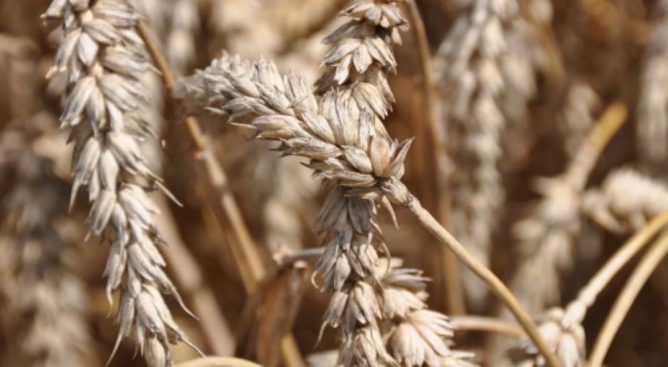 Cena pszenicy wyznaczyła nowe dołki notowań