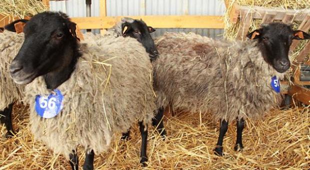 Bratoszewice – wystawa owiec, świń, drobiu i królików