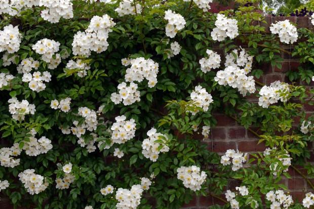 Róże w ogrodzie, cz.1