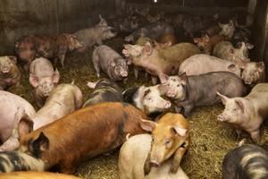 Warto stosować syntetyczne aminokwasy w żywieniu świń