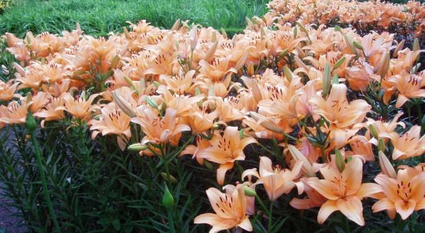 Lilie ogrodowe, cz.1: Rodzaje i odmiany