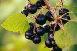 Zwalczamy choroby grzybowe czarnej porzeczki i agrestu