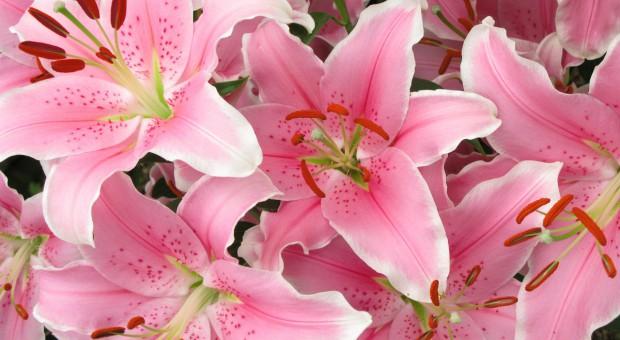 Lilie ogrodowe, cz.2: Uprawa