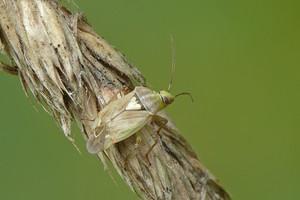 Zmiennik lucernowiec – szkodnik upraw gruntowych