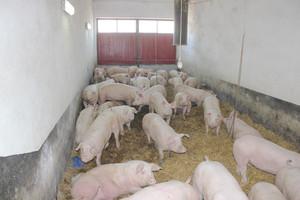 Pasożyty zewnętrzne świń