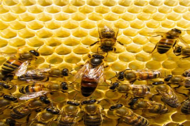 Zgnilec amerykański zaatakował pszczoły w powiecie częstochowskim