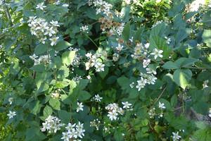Jeżyna bezkolcowa – uprawa i odmiany