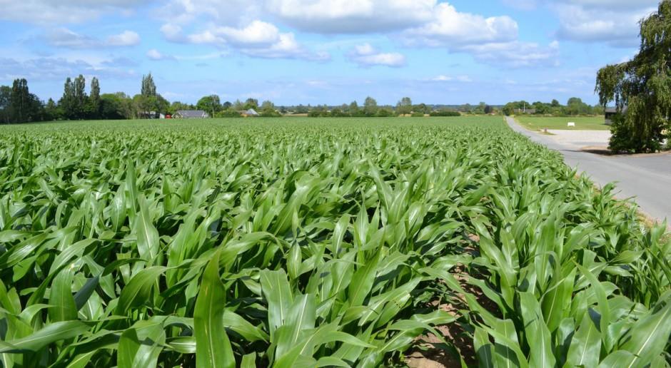 Jak wyznaczyć termin zbioru kukurydzy na kiszonkę?