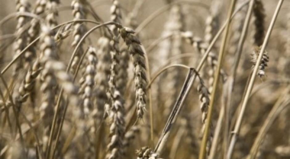 Czarny tydzień notowań pszenicy