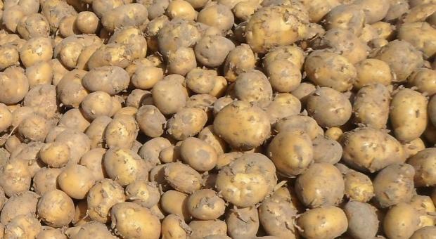Brak opadów-zagrożeniem dla ziemniaków