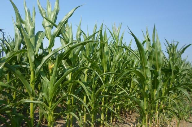 Czy będą mniejsze plony zielonej masy kukurydzy?