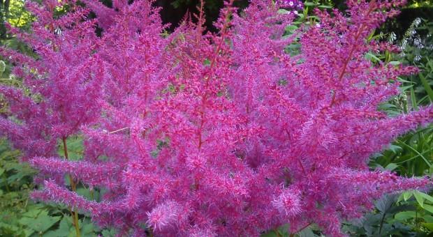 Tawułki – barwne rośliny w cienistym ogrodzie