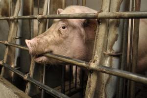Łatwiej zlikwidować świnie niż dziki
