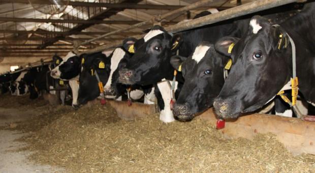 Makuch słonecznikowy w żywieniu krów mlecznych