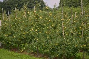Jaka jest przyszłość polskich jabłek?