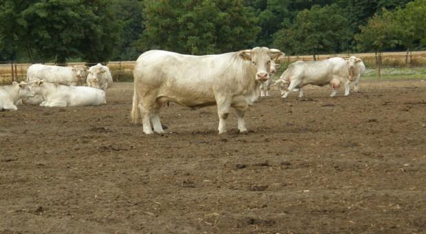 W skupach bydła przestój na żniwa
