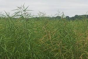W piątek ceny rzepaku i soi spadały