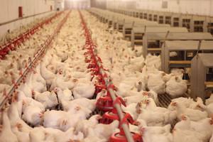 Rośnie sprzedaż polskiego drobiu na rynki w Afryce i Azji.