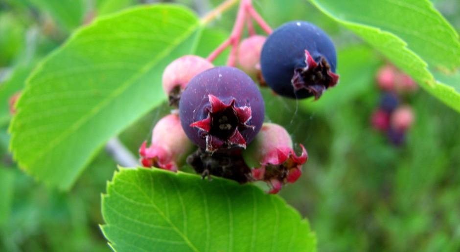 Świdośliwa – perspektywa uprawy towarowej