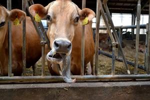 Brakowanie krów - jakie są najczęstsze przyczyny?