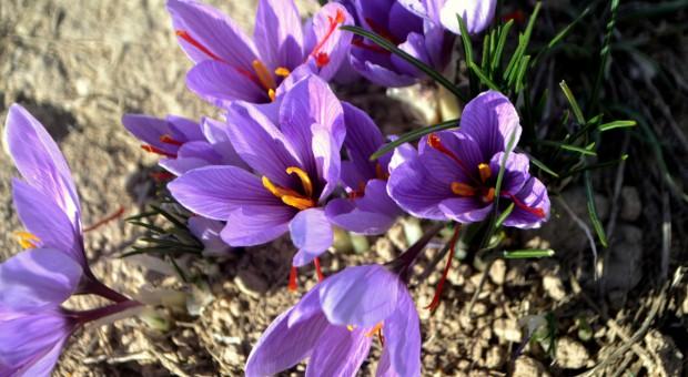 Krokusy jesienne – uprawa i gatunki