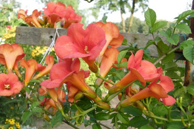 Milin – pnącze kwitnące latem