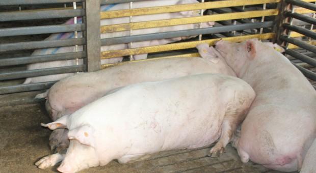 Mykotoksyny – poważny problem w żywieniu loch
