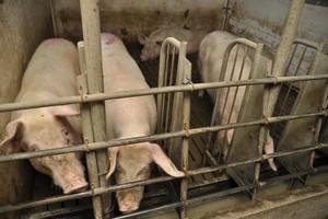 Trwa ustalanie liczby świń do likwidacji, w związku z ASF