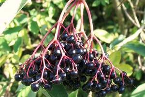 Bez czarny – perspektywa uprawy towarowej