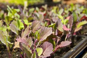 Dlaczego warzywa słabo rosną i plonują? cz.1: Rozsada