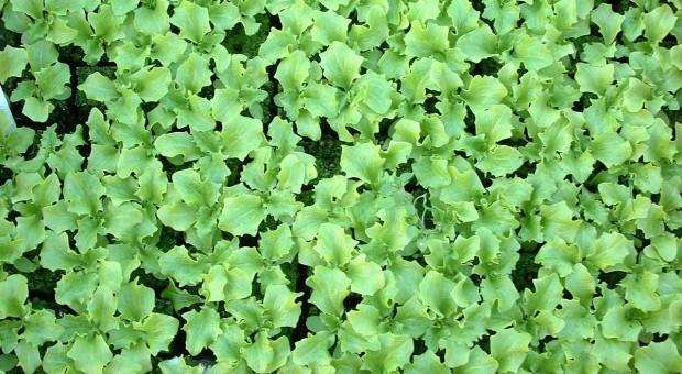 W sierpniu siejemy i wysadzamy warzywa liściowe