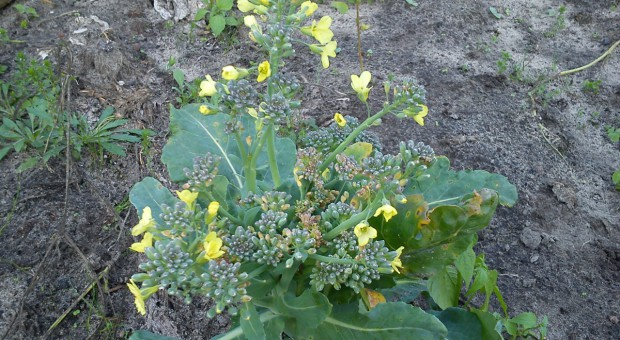 Dlaczego warzywa słabo rosną i plonują? cz. 2: Uprawa