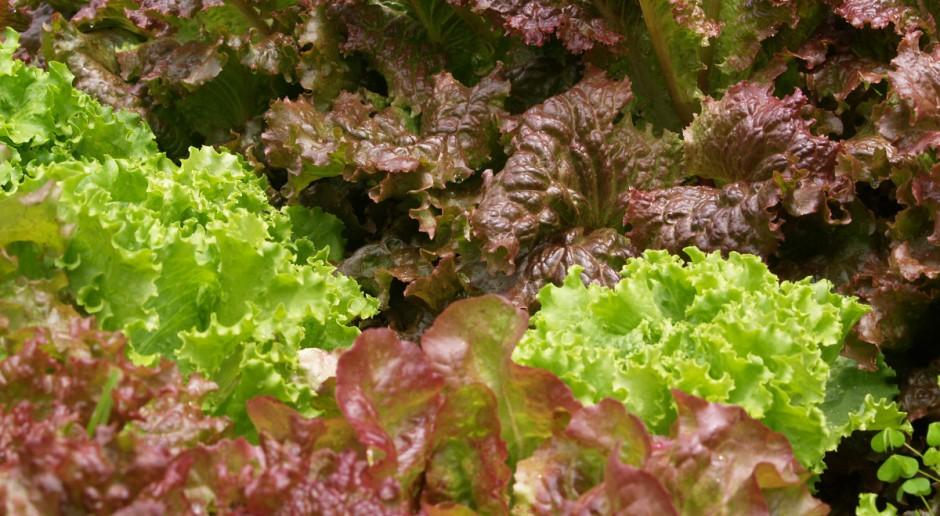 Co atakuje warzywa liściowe w uprawie poplonowej?