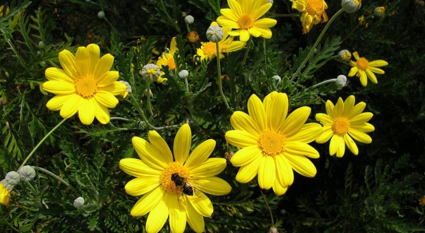 Euryops – jesienny kwiat