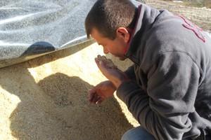 Kiszone ziarno kukurydzy, cenną paszą dla świń