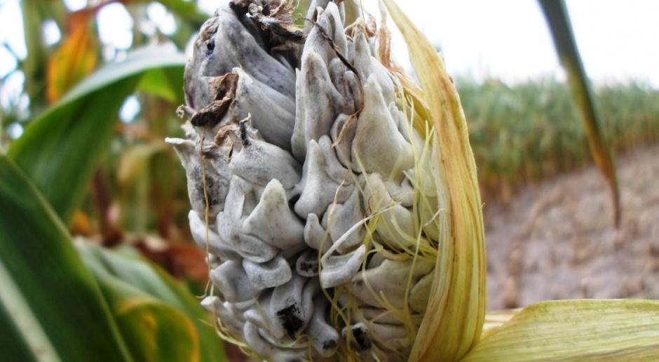 Głownia guzowata w kukurydzy