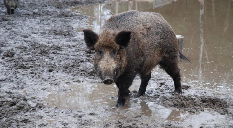 Protest rolników wz. ze szkodami wyrządzanymi przez dziki