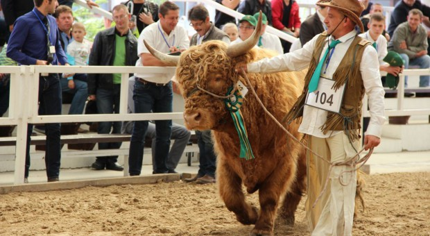 Highland cattle po polsku
