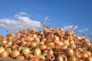 Trwają zbiory cebuli z siewu