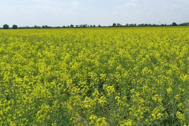 Oleiste poddały się kiepskim nastrojom z rynku zbóż