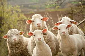 Dłuższy wypas owiec w Bieszczadach i Beskidzie Niskim